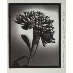 Crisantemo - n.2