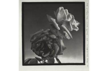 Rose - n. 18