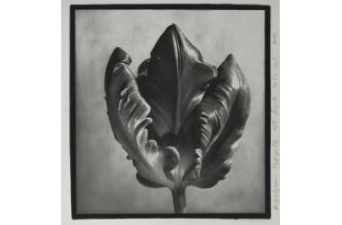 Tulipano pappagallo n. 9